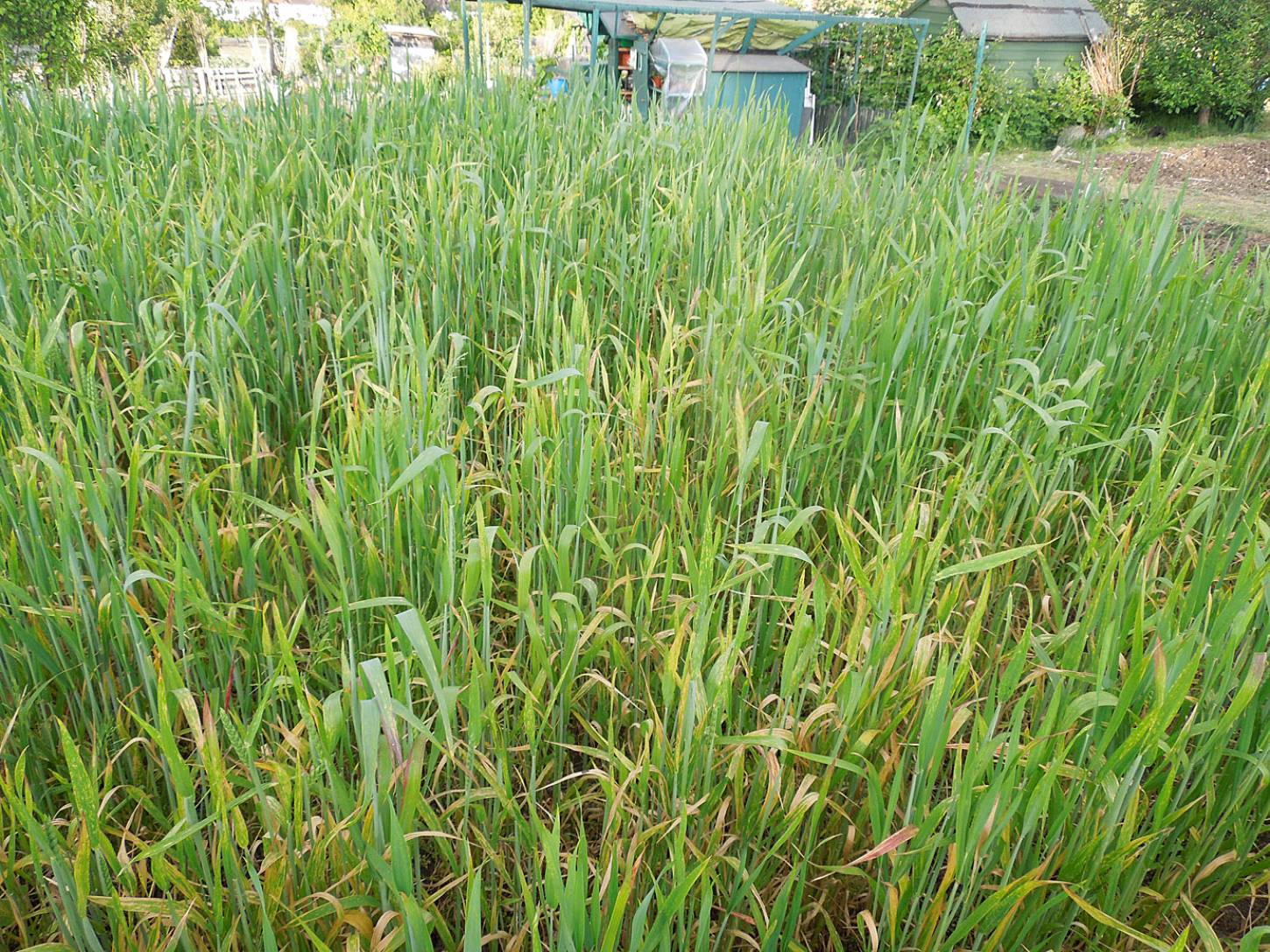 purple naked spelt review - late May - 7:28pm&nbsp;26<sup>th</sup>&nbsp;May.&nbsp;'15