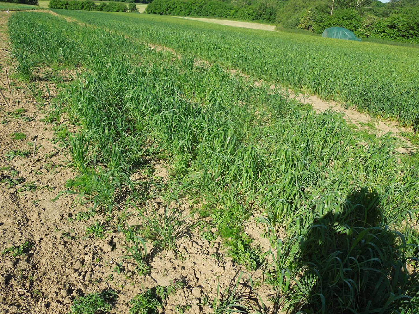 WoWo review - April Bearded patchy plot - 8:45am&nbsp;7<sup>th</sup>&nbsp;Jun.&nbsp;'15