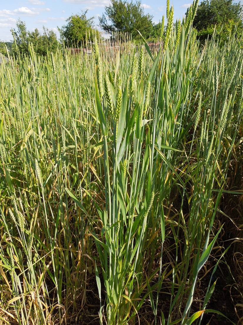 plot review - Red Chidham intersown with Purple Spelt plot 35 - 5:47pm&nbsp;7<sup>th</sup>&nbsp;Jun.&nbsp;'15