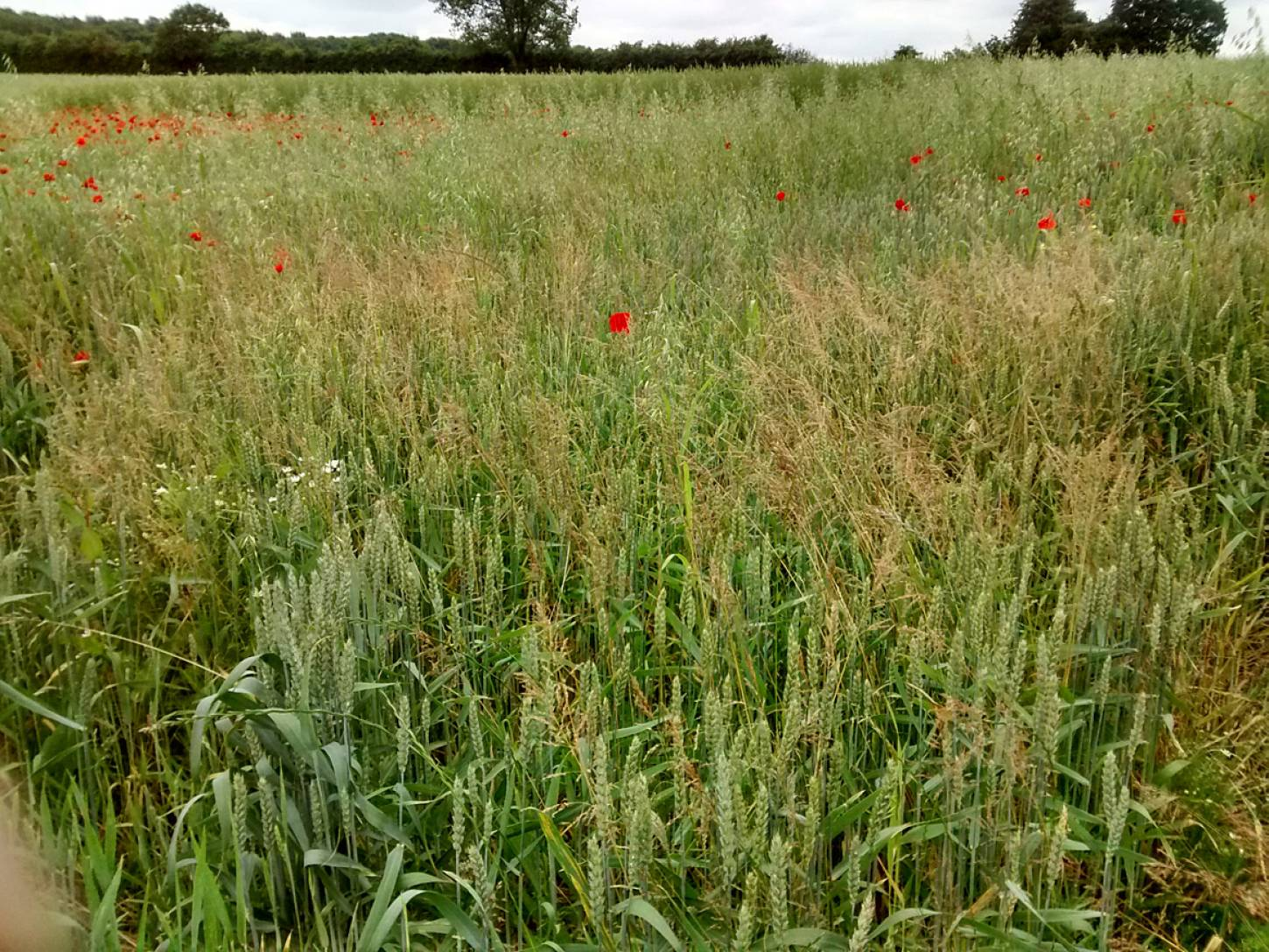 Perry Court biodynamic Farm review - modern Nelson wheat overgrown - 3:50pm&nbsp;23<sup>rd</sup>&nbsp;Jun.&nbsp;'15  <a href='http://maps.google.com/?t=h&q=51.248375,1.002344&z=15' target=_blank><img src='http://www.brockwell-bake.org.uk/img/marker.png' style='border:none;vertical-align:top' height=16px></a>