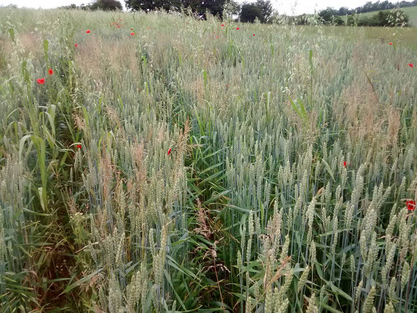 Perry Court biodynamic Farm review - modern Nelson wheat overgrown - 3:50pm&nbsp;23<sup>rd</sup>&nbsp;Jun.&nbsp;'15  <a href='http://maps.google.com/?t=h&q=51.241333,1.021452&z=15' target=_blank><img src='http://www.brockwell-bake.org.uk/img/marker.png' style='border:none;vertical-align:top' height=16px></a>