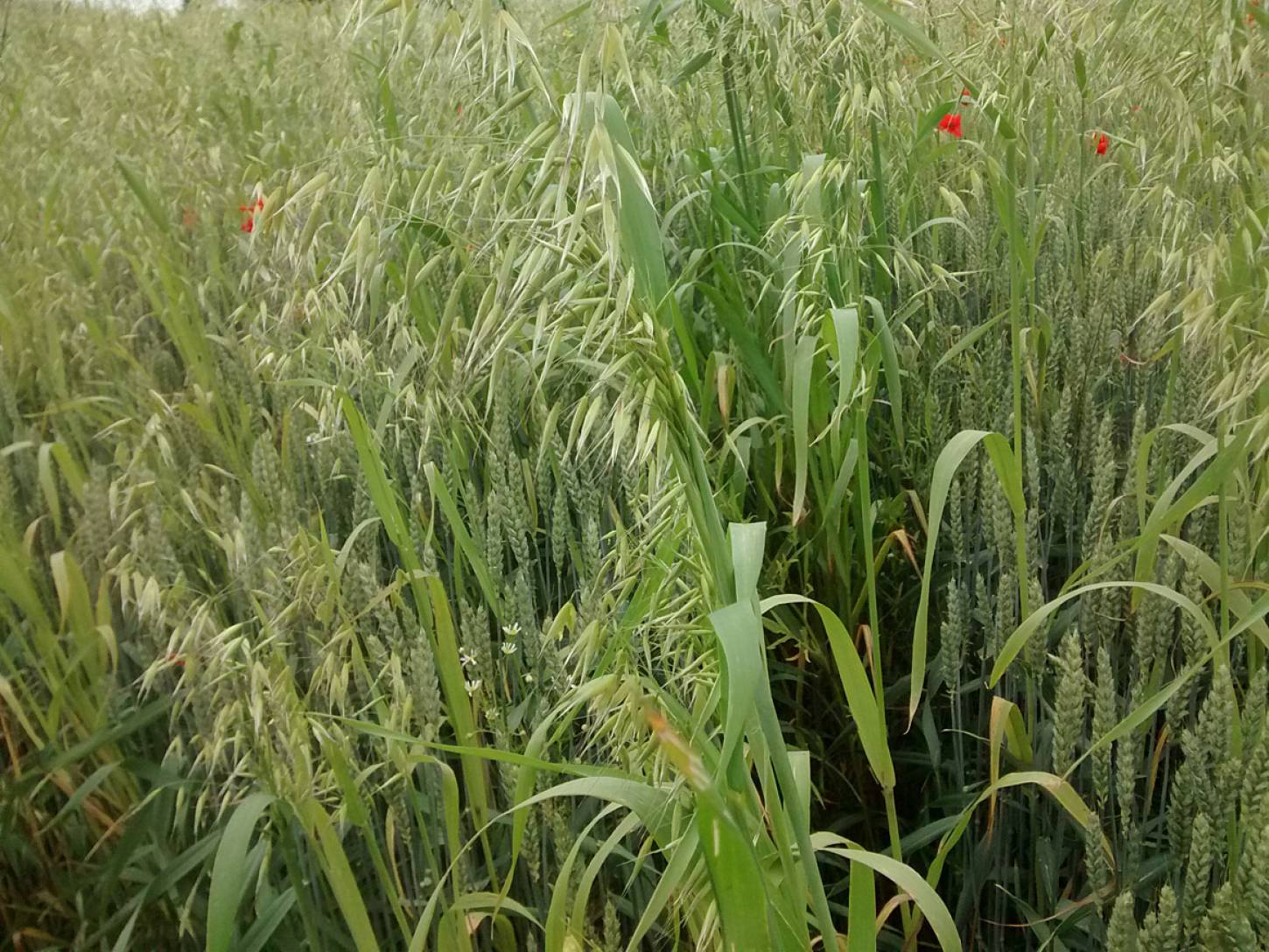 Perry Court biodynamic Farm review - modern Nelson wheat overgrown - 3:51pm&nbsp;23<sup>rd</sup>&nbsp;Jun.&nbsp;'15  <a href='http://maps.google.com/?t=h&q=51.241413,1.021581&z=15' target=_blank><img src='http://www.brockwell-bake.org.uk/img/marker.png' style='border:none;vertical-align:top' height=16px></a>