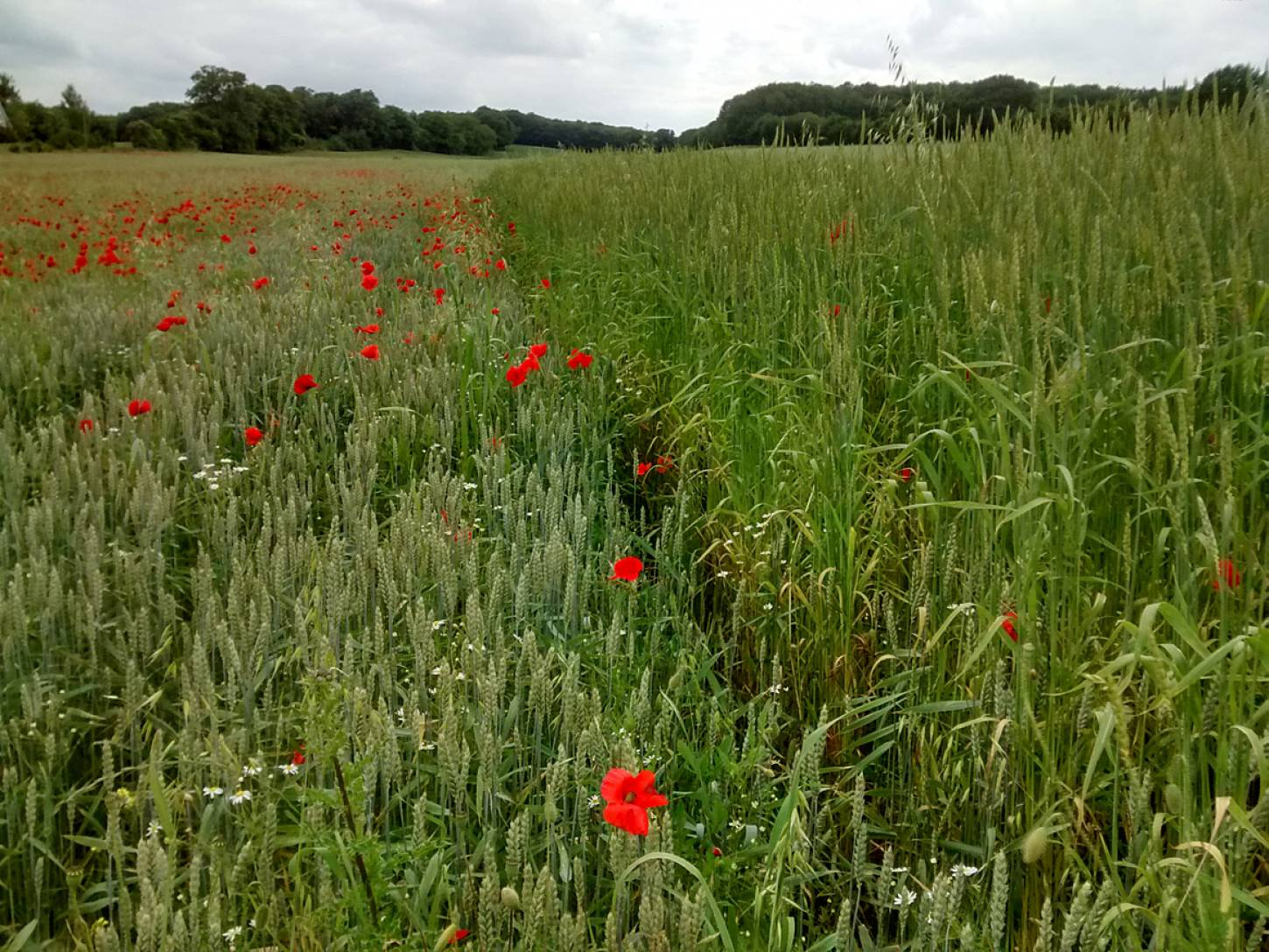 Perry Court biodynamic Farm review - modern wheat meets big sister - 3:51pm&nbsp;23<sup>rd</sup>&nbsp;Jun.&nbsp;'15  <a href='http://maps.google.com/?t=h&q=51.241413,1.021581&z=15' target=_blank><img src='http://www.brockwell-bake.org.uk/img/marker.png' style='border:none;vertical-align:top' height=16px></a>