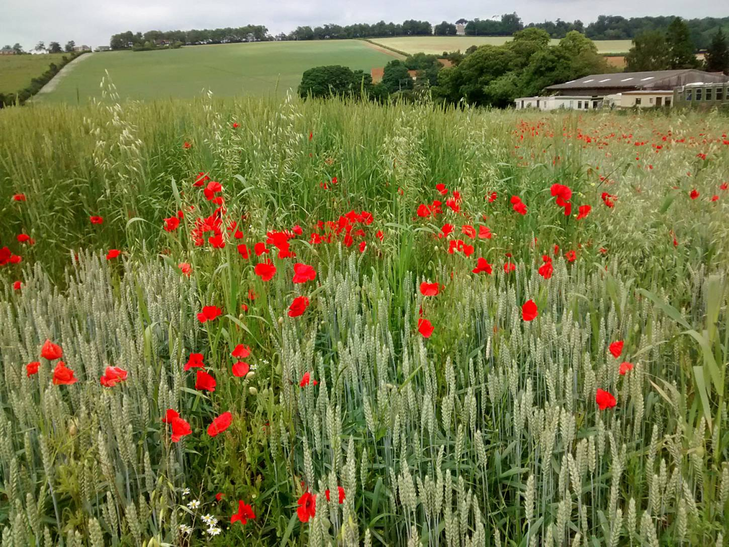Perry Court biodynamic Farm review - modern wheat meets big sister - 4:00pm&nbsp;23<sup>rd</sup>&nbsp;Jun.&nbsp;'15  <a href='http://maps.google.com/?t=h&q=51.241199,1.021372&z=15' target=_blank><img src='http://www.brockwell-bake.org.uk/img/marker.png' style='border:none;vertical-align:top' height=16px></a>