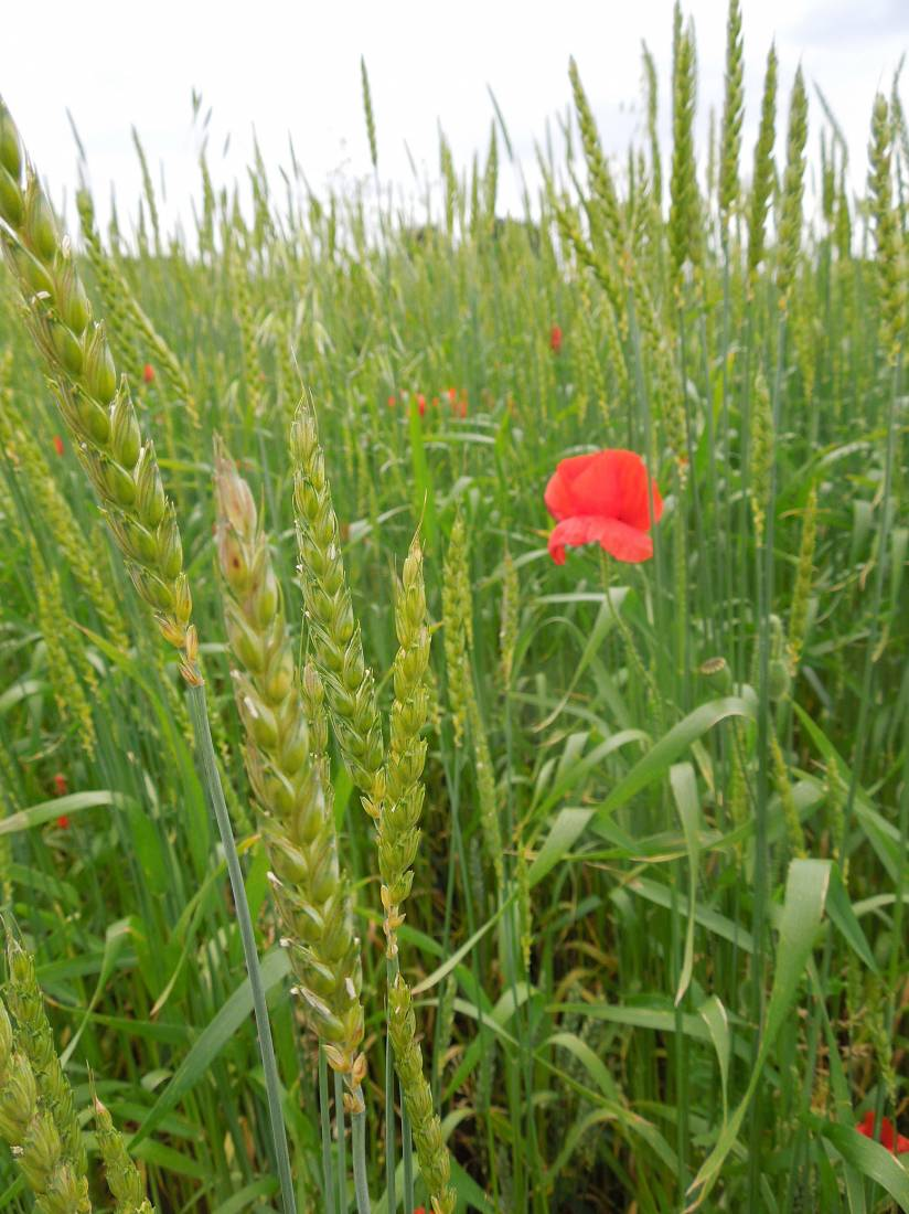 Perry Court biodynamic Farm review - Red Lammas - 4:03pm&nbsp;23<sup>rd</sup>&nbsp;Jun.&nbsp;'15