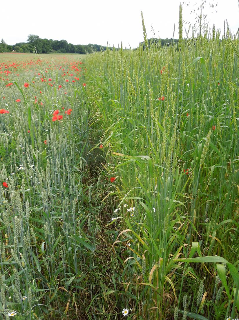 Perry Court biodynamic Farm review - Red Lammas on right, Nelson on left - 4:03pm&nbsp;23<sup>rd</sup>&nbsp;Jun.&nbsp;'15