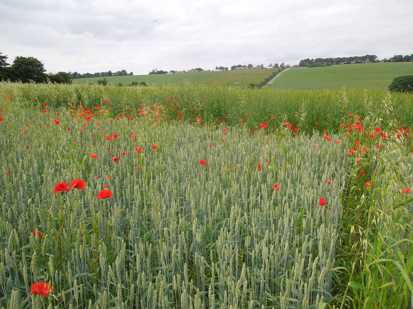 Perry Court biodynamic Farm review - modern Nelson in front and Red Lammas - 4:05pm&nbsp;23<sup>rd</sup>&nbsp;Jun.&nbsp;'15