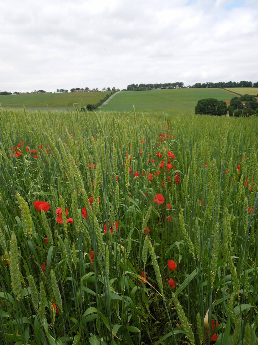 Perry Court biodynamic Farm review - Red Lammas composite on right and Kent Old Hoary on left - 4:17pm&nbsp;23<sup>rd</sup>&nbsp;Jun.&nbsp;'15