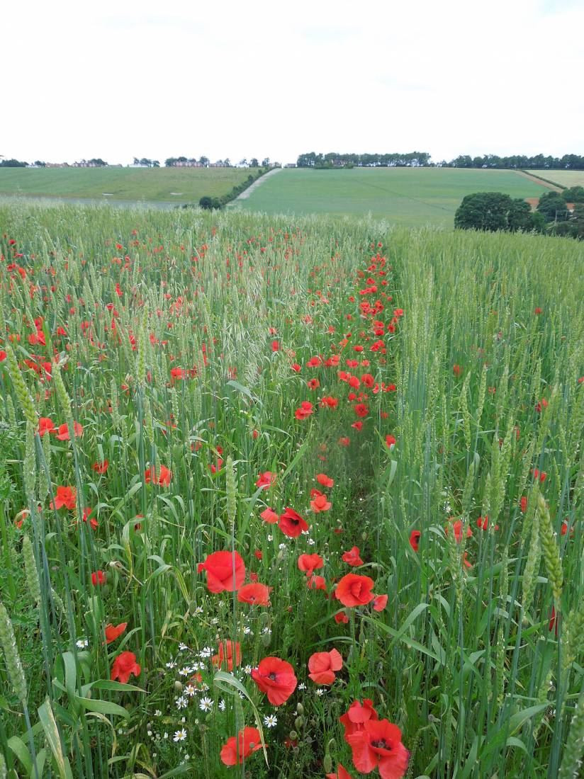 Perry Court biodynamic Farm review - Red Lammas on right and Kent Old Hoary on left - 4:18pm&nbsp;23<sup>rd</sup>&nbsp;Jun.&nbsp;'15