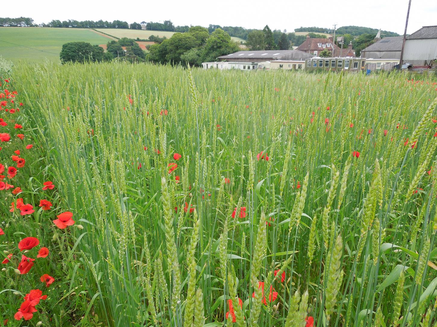 Perry Court biodynamic Farm review - Red Lammas - 4:18pm&nbsp;23<sup>rd</sup>&nbsp;Jun.&nbsp;'15