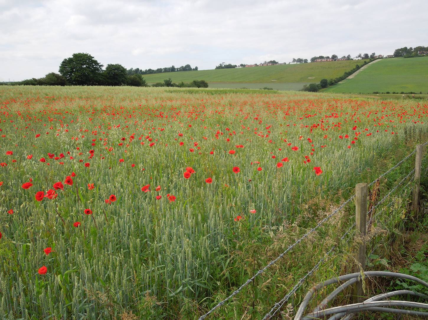 Perry Court biodynamic Farm review - our patch at distance - 4:36pm&nbsp;23<sup>rd</sup>&nbsp;Jun.&nbsp;'15
