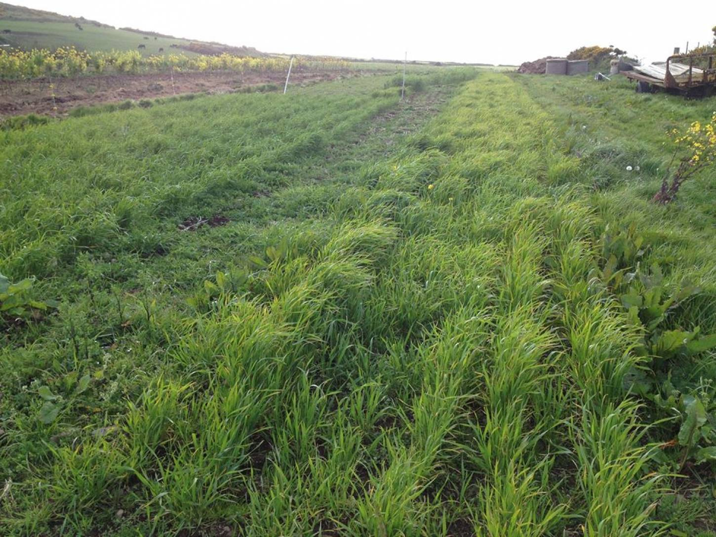 review of cereals sown by Rupert Dunn at <a href='https://www.facebook.com/torthytir' target=_blank>Torth yTir</a> - <a href='' target=_blank>Hen Gymro S70</a> on left and <a href='http://brockwell-bake.org.uk/wheat/search.php?send=1&search=aragon%2003&cn=' target=_blank>Aragon 03</a>   11th May 2015
