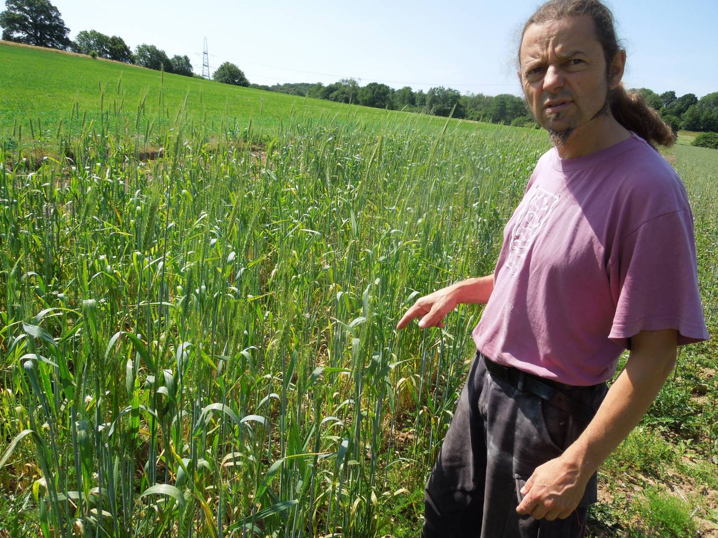 Forest Row baker Jean Marc Albisetti touring WoWo heritage wheat - April Bearded pretty patchy after early rook attack - 11:25am&nbsp;3<sup>rd</sup>&nbsp;Jul.&nbsp;'15