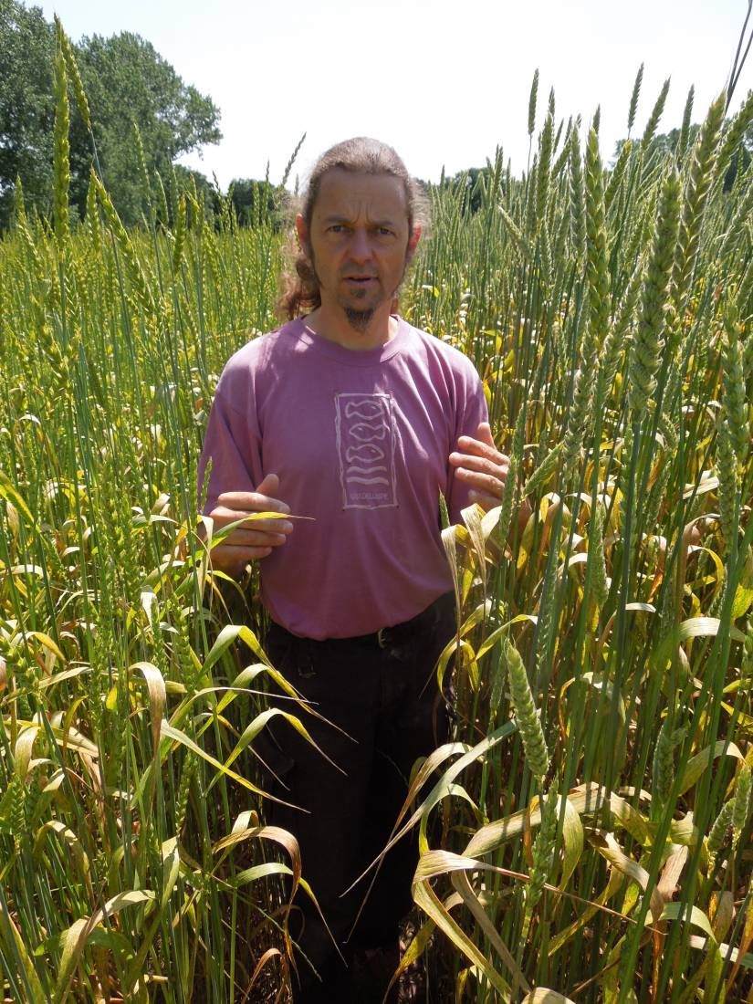 Forest Row baker Jean Marc Albisetti touring WoWo heritage wheat - Red Lammas on left and Ble d'Haie on right - 11:50am&nbsp;3<sup>rd</sup>&nbsp;Jul.&nbsp;'15