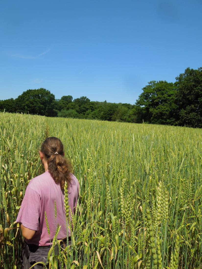Forest Row baker Jean Marc Albisetti touring WoWo heritage wheat - 11:50am&nbsp;3<sup>rd</sup>&nbsp;Jul.&nbsp;'15