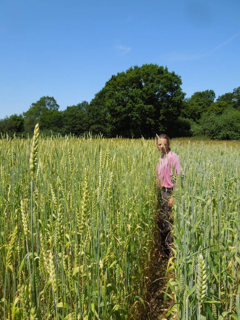 Forest Row baker Jean Marc Albisetti touring WoWo heritage wheat - Old Kent Red on left and Ble Blanc de Flanders on right - 11:56am&nbsp;3<sup>rd</sup>&nbsp;Jul.&nbsp;'15