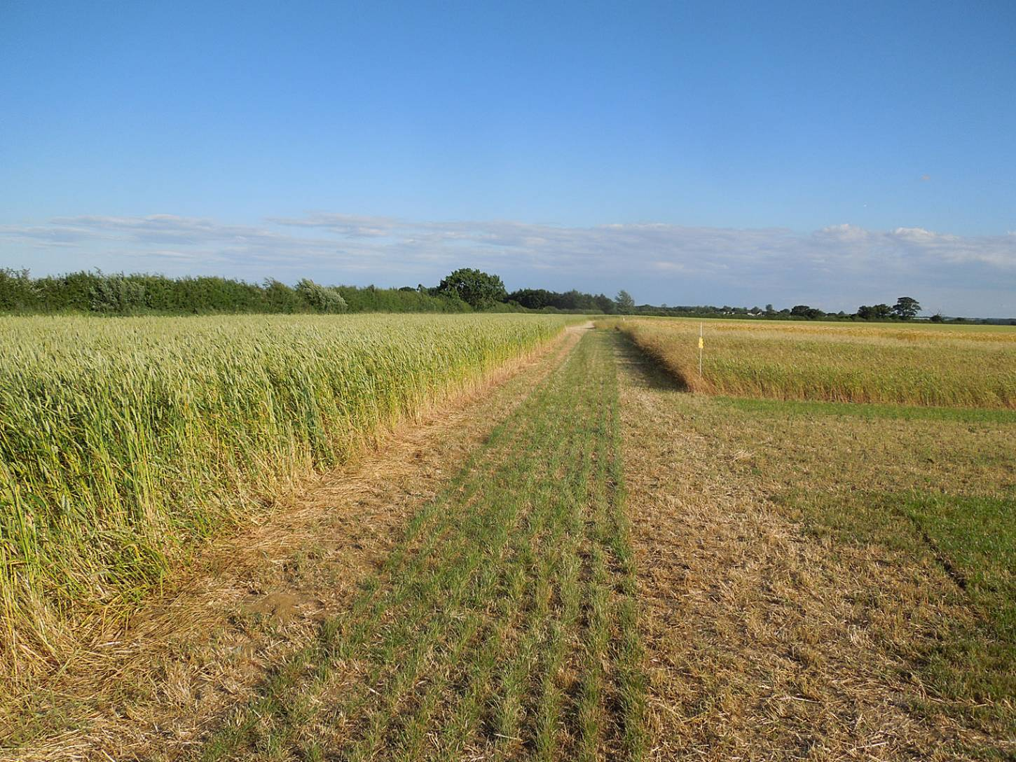 trials at <a href='https://twitter.com/search?src=typd&q=NOCC15' target=_blank>NOCC15</a> - good stand of Wakleyns wheat population to left, other lines to right  - 6:25pm&nbsp;7<sup>th</sup>&nbsp;Jul.&nbsp;'15