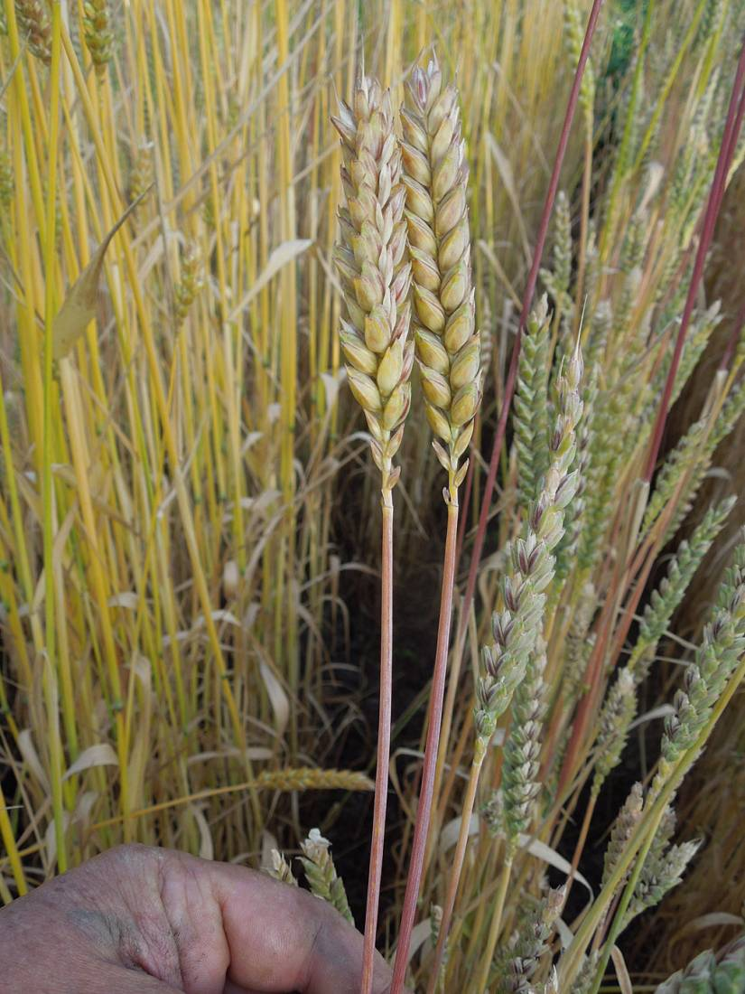naked Purple spelt plot review - Purple mutt type - 7:08pm&nbsp;6<sup>th</sup>&nbsp;Jul.&nbsp;'15