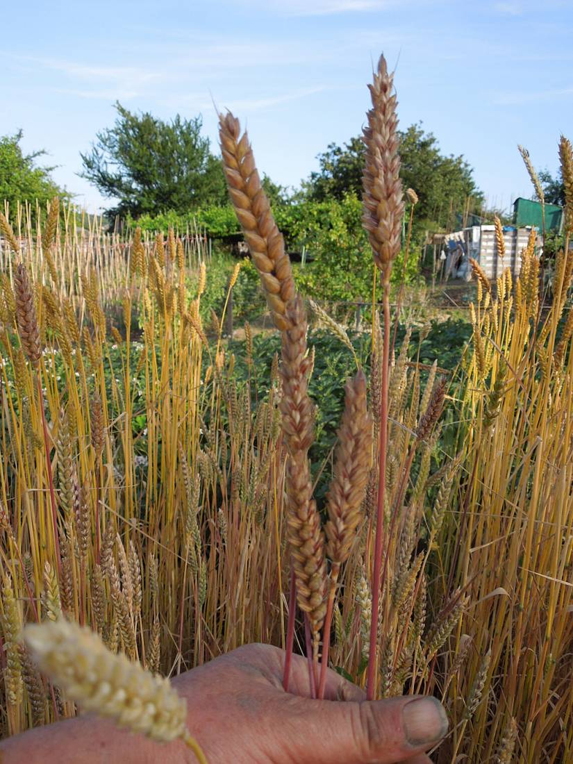 naked Purple spelt plot review - Purple mutt type - 7:09pm&nbsp;6<sup>th</sup>&nbsp;Jul.&nbsp;'15