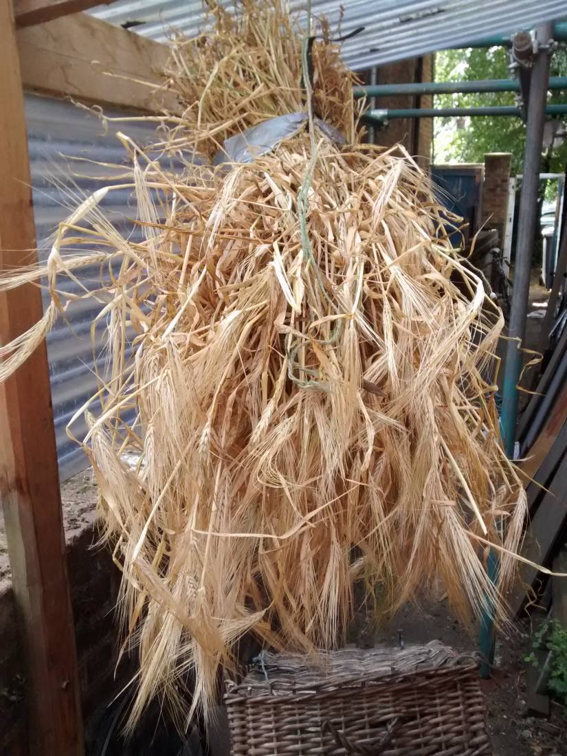 first harvest of 2015 - European heritage naked barley population from back garden - 11:12am&nbsp;16<sup>th</sup>&nbsp;Jul.&nbsp;'15  <a href='http://maps.google.com/?t=h&q=51.470581,-0.103696&z=15' target=_blank><img src='http://www.brockwell-bake.org.uk/img/marker.png' style='border:none;vertical-align:top' height=16px></a>