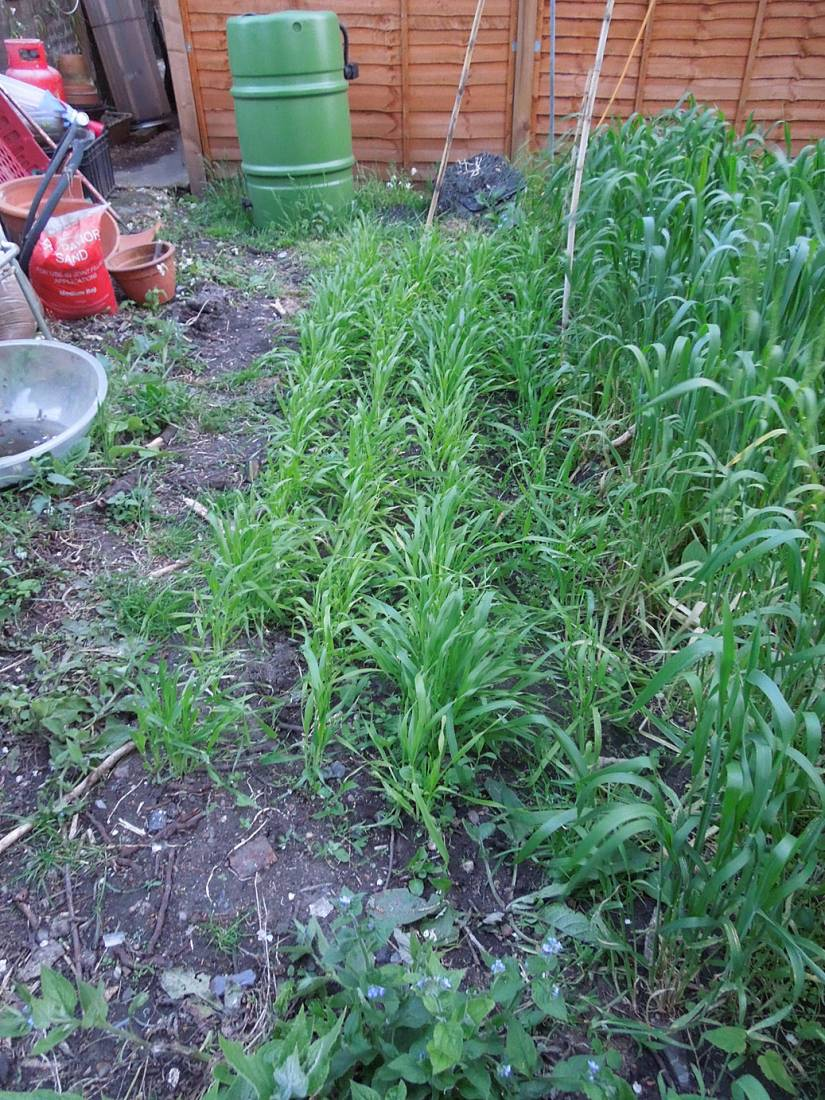 Lilford Road garden plot review, naked barley mix - 8:58pm&nbsp;18<sup>th</sup>&nbsp;May.&nbsp;'15