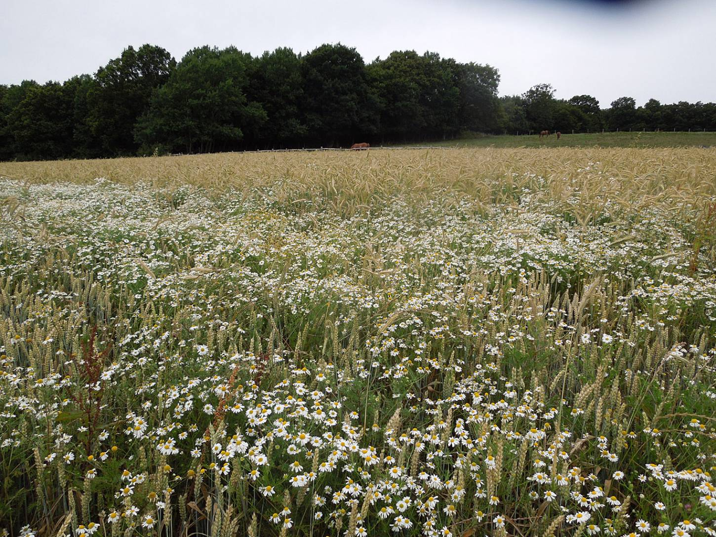 WoWo review - rye with Nelson wheat in front under Mayweed - 6:32pm&nbsp;18<sup>th</sup>&nbsp;Jul.&nbsp;'15