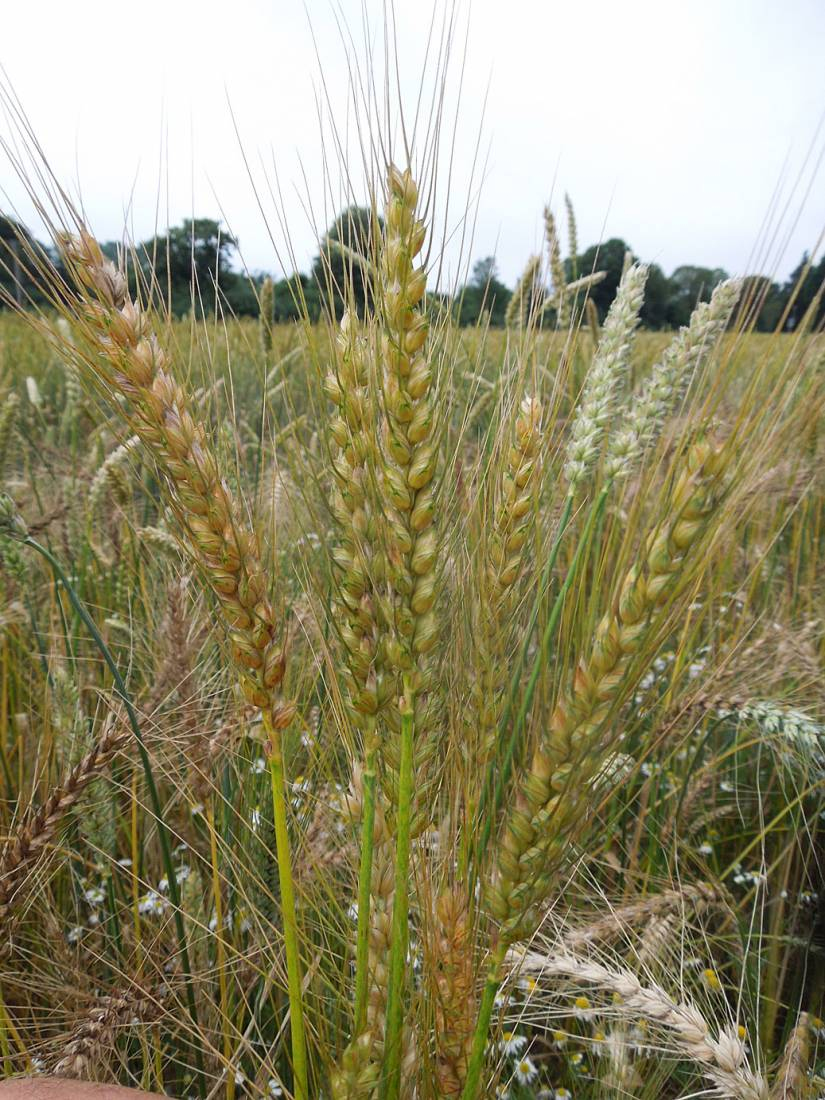 WoWo review - Tsiteli Doli, Georgian wheat - 7:20pm&nbsp;18<sup>th</sup>&nbsp;Jul.&nbsp;'15