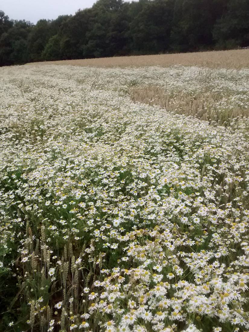 WoWo review - nice Mayweed crop - 6:22pm&nbsp;18<sup>th</sup>&nbsp;Jul.&nbsp;'15  <a href='http://maps.google.com/?t=h&q=50.994026,-0.008633&z=15' target=_blank><img src='http://www.brockwell-bake.org.uk/img/marker.png' style='border:none;vertical-align:top' height=16px></a>