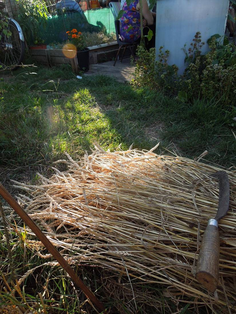 first sheaves cut on plot - <a href='http://www.wheat-gateway.org.uk/search.php?send=1&ID=10067&genes=1&bunt_a=1' target=_blank>Maiorca</a> from Sicily - 6:59pm&nbsp;19<sup>th</sup>&nbsp;Jul.&nbsp;'15