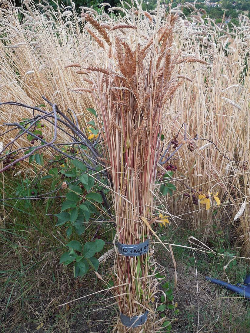 2nd day plot harvest - Old Fashioned <a href='http://www.brockwell-bake.org.uk/wheat/search.php?send=1&ID=12377&genes=1&bunt_a=1' target=_blank>#k26128</a> - 8:25pm&nbsp;20<sup>th</sup>&nbsp;Jul.&nbsp;'15