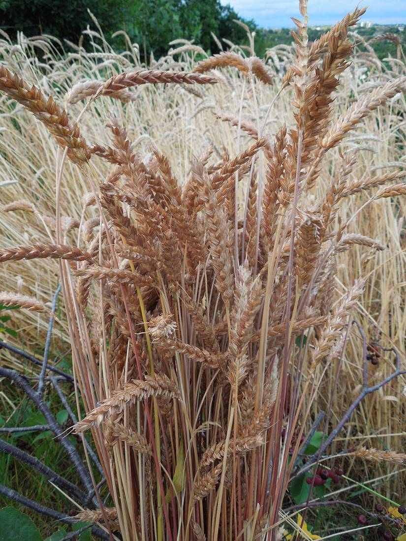 2nd day plot harvest - Old Fashioned <a href='http://www.brockwell-bake.org.uk/wheat/search.php?send=1&ID=12377&genes=1&bunt_a=1' target=_blank>#k26128</a> - 8:26pm&nbsp;20<sup>th</sup>&nbsp;Jul.&nbsp;'15