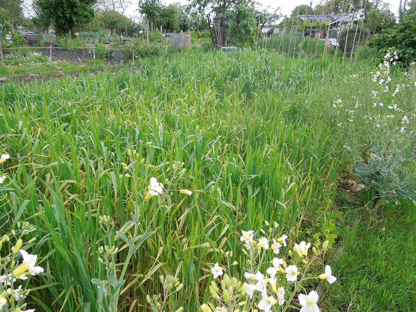 plots 35 & 36 review, purple naked spelt plot 36 - 1:27pm&nbsp;19<sup>th</sup>&nbsp;May.&nbsp;'15