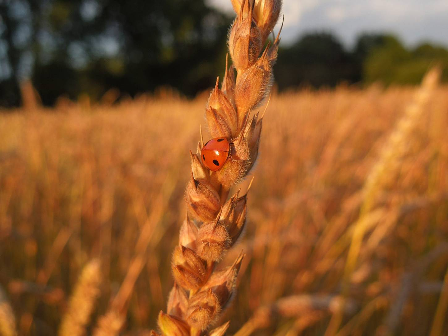 WoWo lodging review post storm 24/7/15 - ladybird on Orange Devon Blue Rough Chaff - 8:21pm&nbsp;25<sup>th</sup>&nbsp;Jul.&nbsp;'15