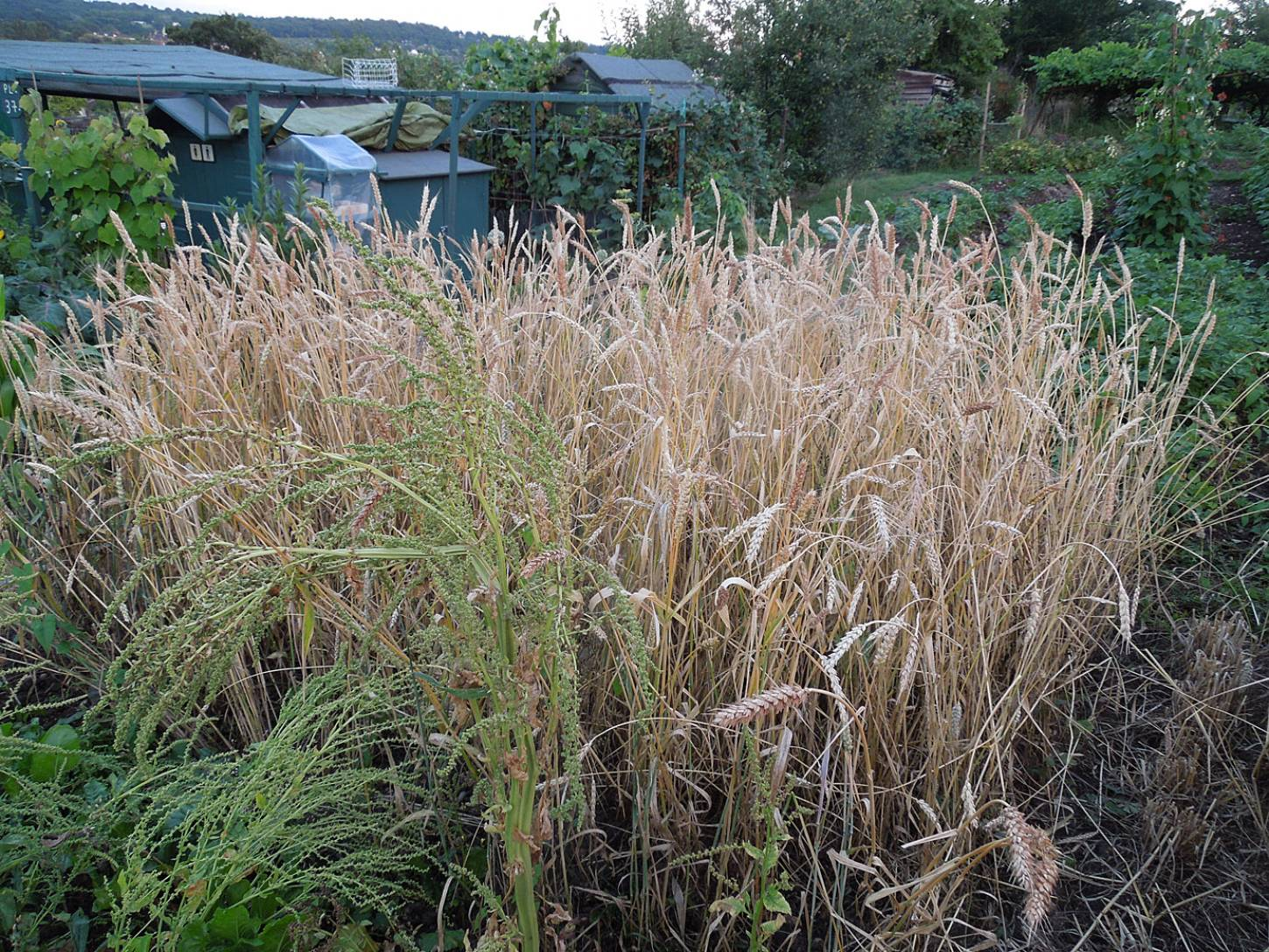 harvest plot review - Madeira patch, plot 36 - 8:37pm&nbsp;28<sup>th</sup>&nbsp;Jul.&nbsp;'15