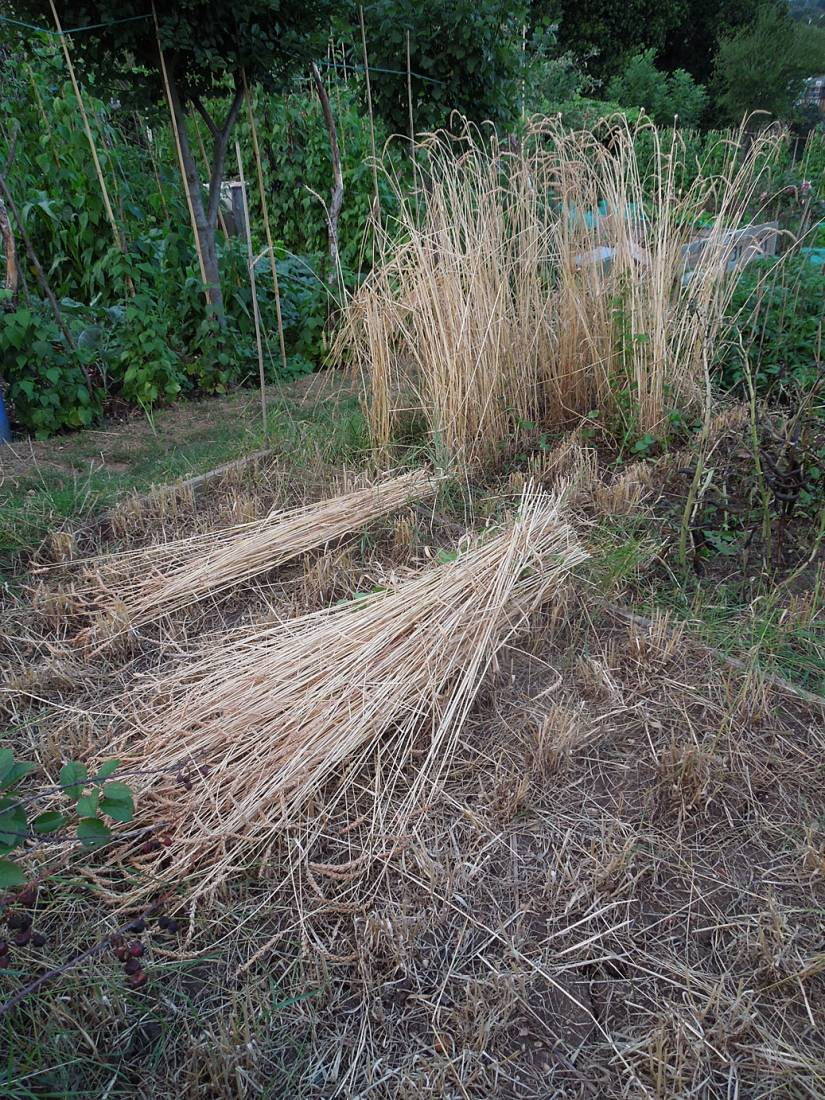 harvest plot review - Old Burwell - 8:46pm&nbsp;28<sup>th</sup>&nbsp;Jul.&nbsp;'15