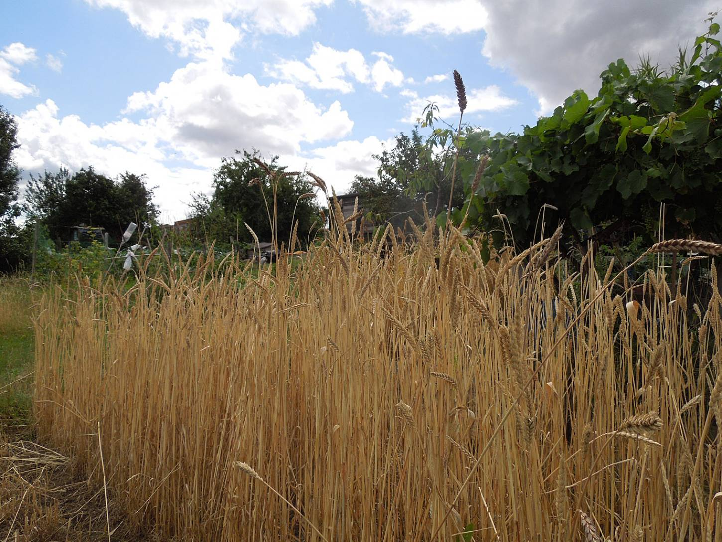 harvest plot review - Purple Mutt (Purple Naked Spelt) plot 36 with taller new crosses - 1:43pm&nbsp;29<sup>th</sup>&nbsp;Jul.&nbsp;'15