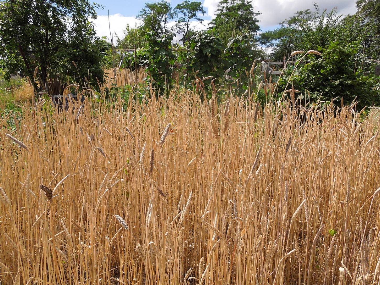 harvest plot review - Purple Mutt (Purple Naked Spelt) plot 36 with taller new crosses - 1:53pm&nbsp;29<sup>th</sup>&nbsp;Jul.&nbsp;'15