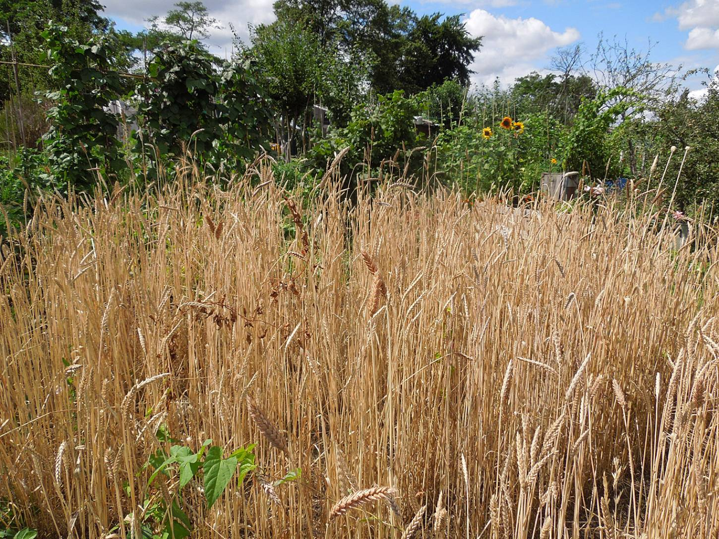 harvest plot review - 1:53pm&nbsp;29<sup>th</sup>&nbsp;Jul.&nbsp;'15