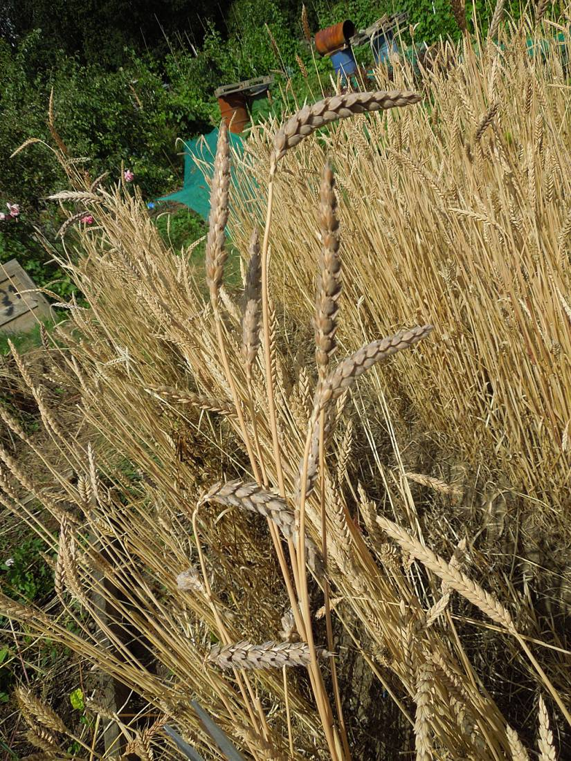 harvest plot review - Purple Naked Spelt - Purple Mutt -new crosses with surrounding British heritage wheats - 1:55pm&nbsp;29<sup>th</sup>&nbsp;Jul.&nbsp;'15
