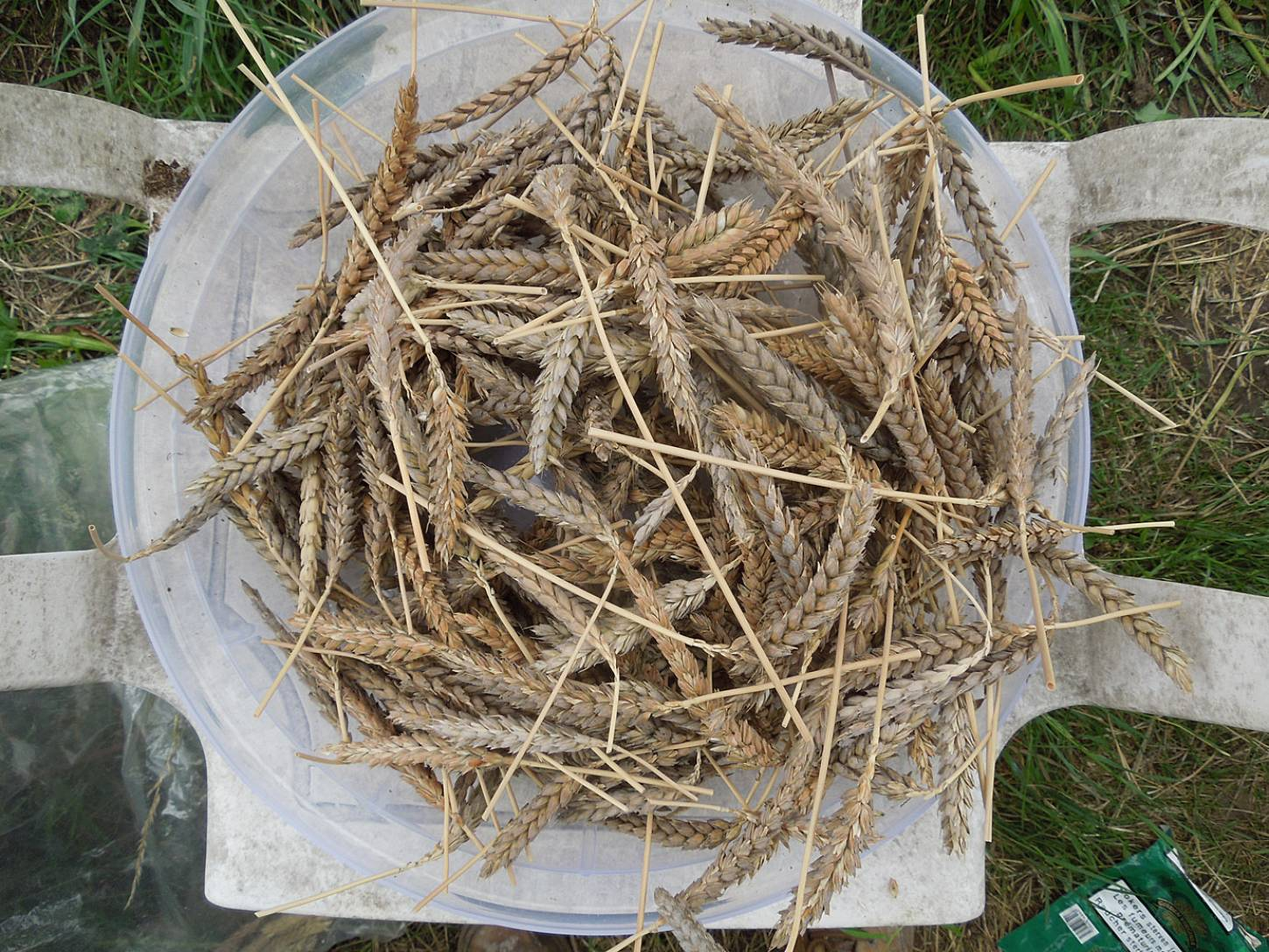 harvest plot review - Purple Naked Spelt - Purple Mutt -new crosses with surrounding British heritage wheats - 2:45pm&nbsp;29<sup>th</sup>&nbsp;Jul.&nbsp;'15