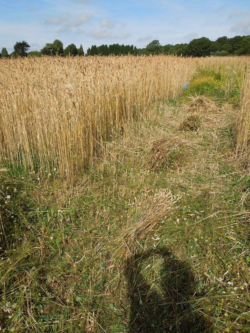 WoWo harvest prep - first sheaves - 10:17am&nbsp;2<sup>nd</sup>&nbsp;Aug.&nbsp;'15
