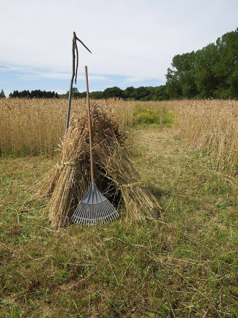 WoWo harvest prep - first stook - 1:56pm&nbsp;2<sup>nd</sup>&nbsp;Aug.&nbsp;'15