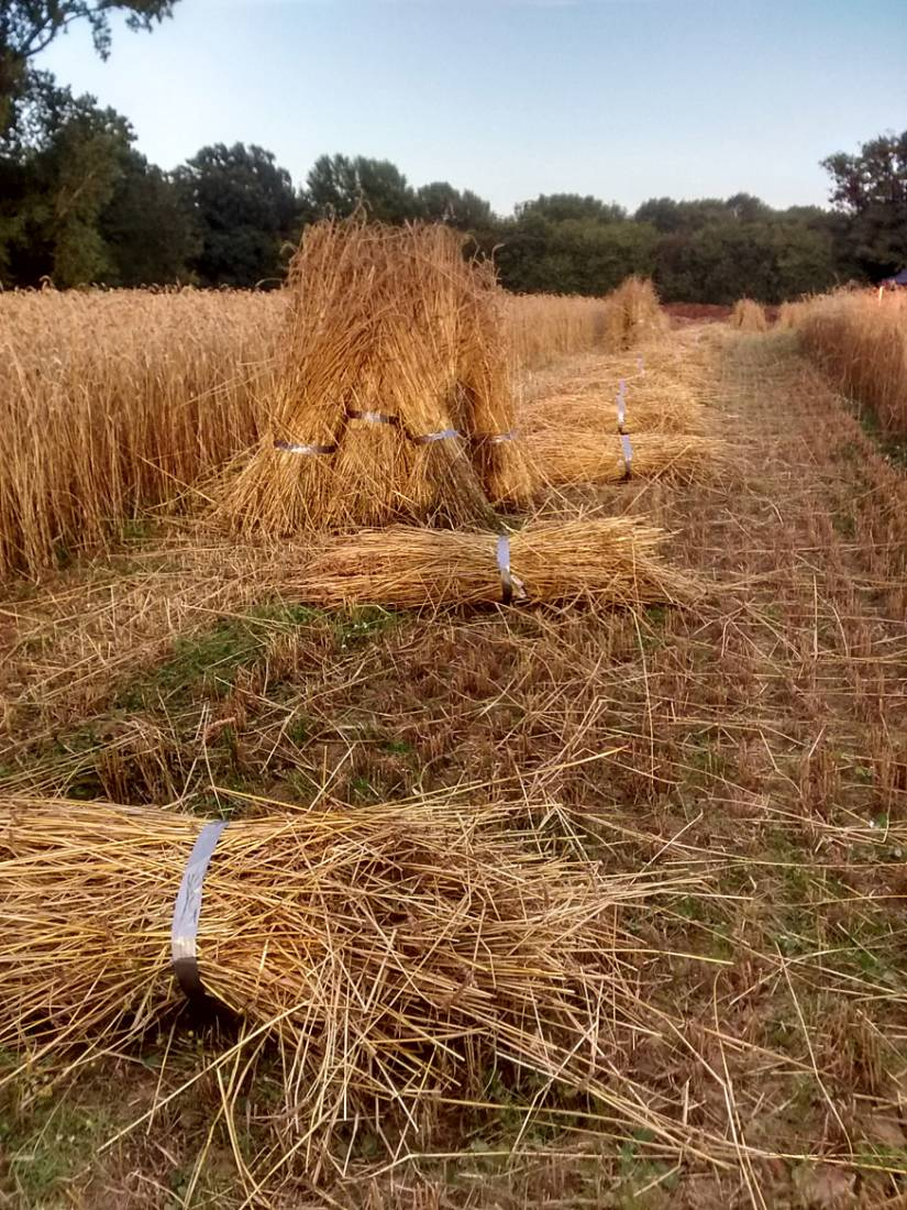WoWo manual harvest - Orange Devon Blue Rough Chaff sheaved and stooked, day #1 - 7:48pm&nbsp;6<sup>th</sup>&nbsp;Aug.&nbsp;'15  <a href='http://maps.google.com/?t=h&q=50.993423,-0.003868&z=15' target=_blank><img src='http://www.brockwell-bake.org.uk/img/marker.png' style='border:none;vertical-align:top' height=16px></a>