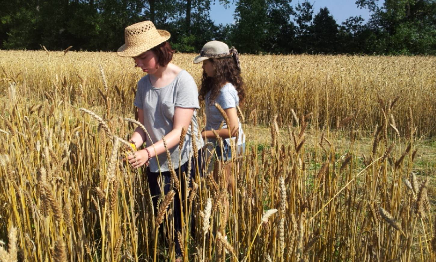 WoWo manual harvest pic: Ann Bodkin - 10:57am&nbsp;8<sup>th</sup>&nbsp;Aug.&nbsp;'15