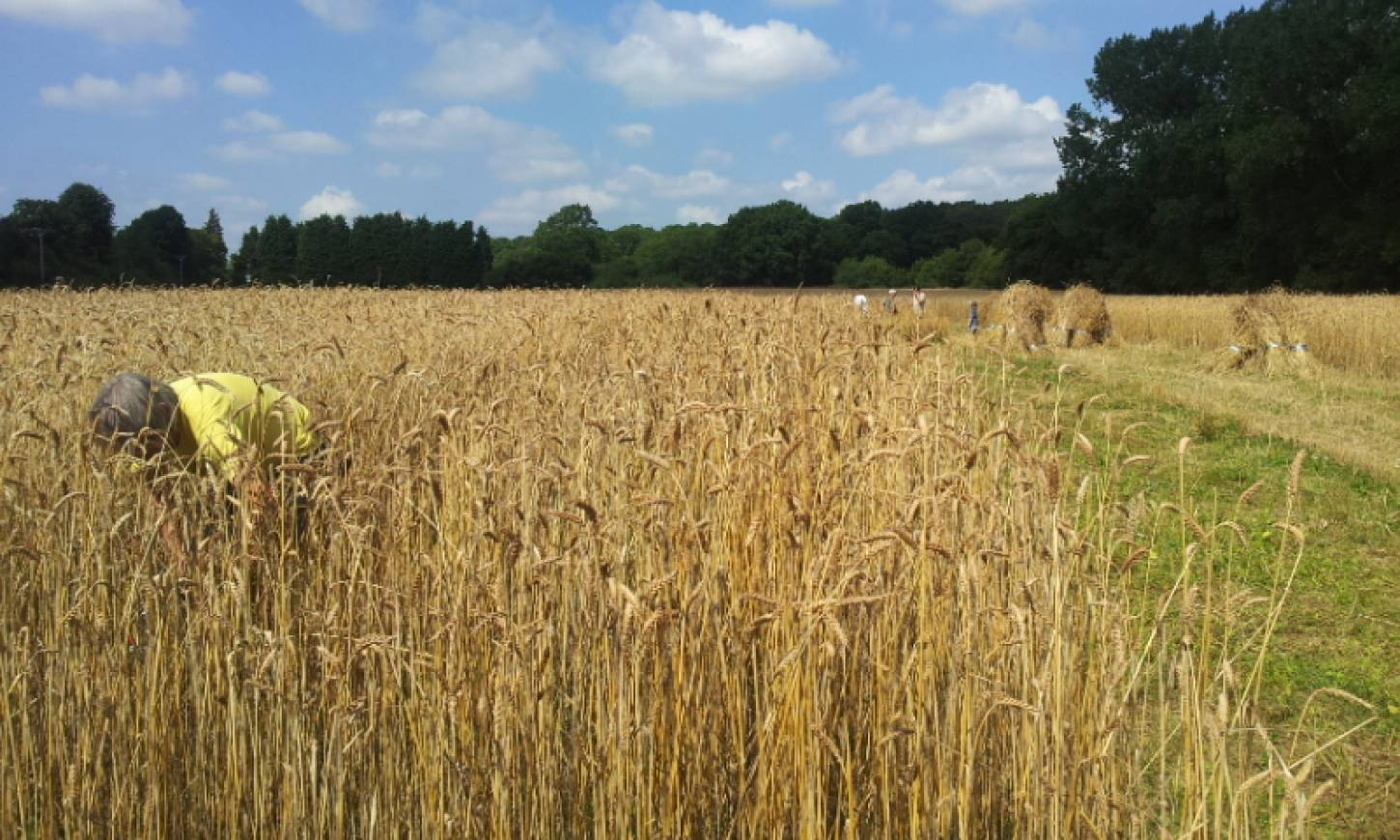 WoWo manual harvest pic: Ann Bodkin - 11:46am&nbsp;8<sup>th</sup>&nbsp;Aug.&nbsp;'15