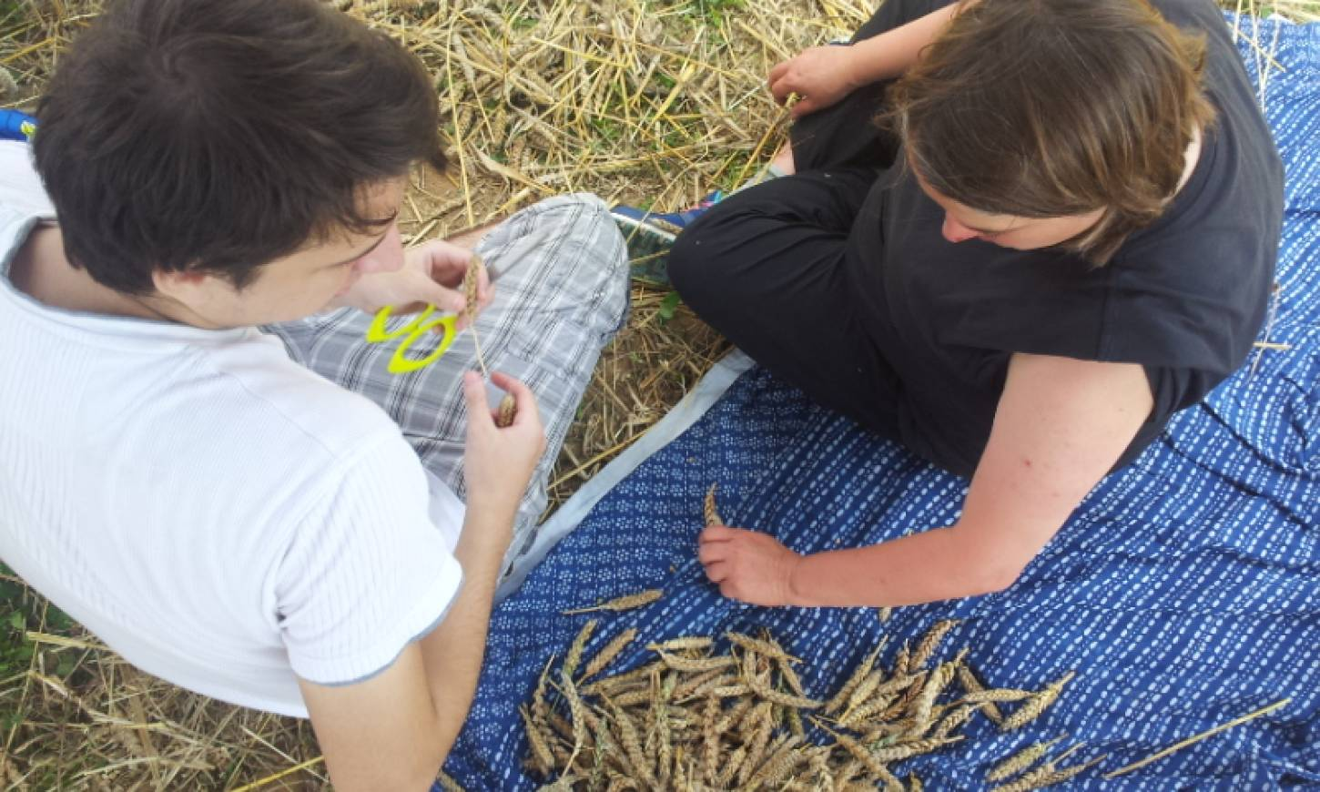 WoWo manual harvest pic: Ann Bodkin - sorting - 12:23pm&nbsp;8<sup>th</sup>&nbsp;Aug.&nbsp;'15