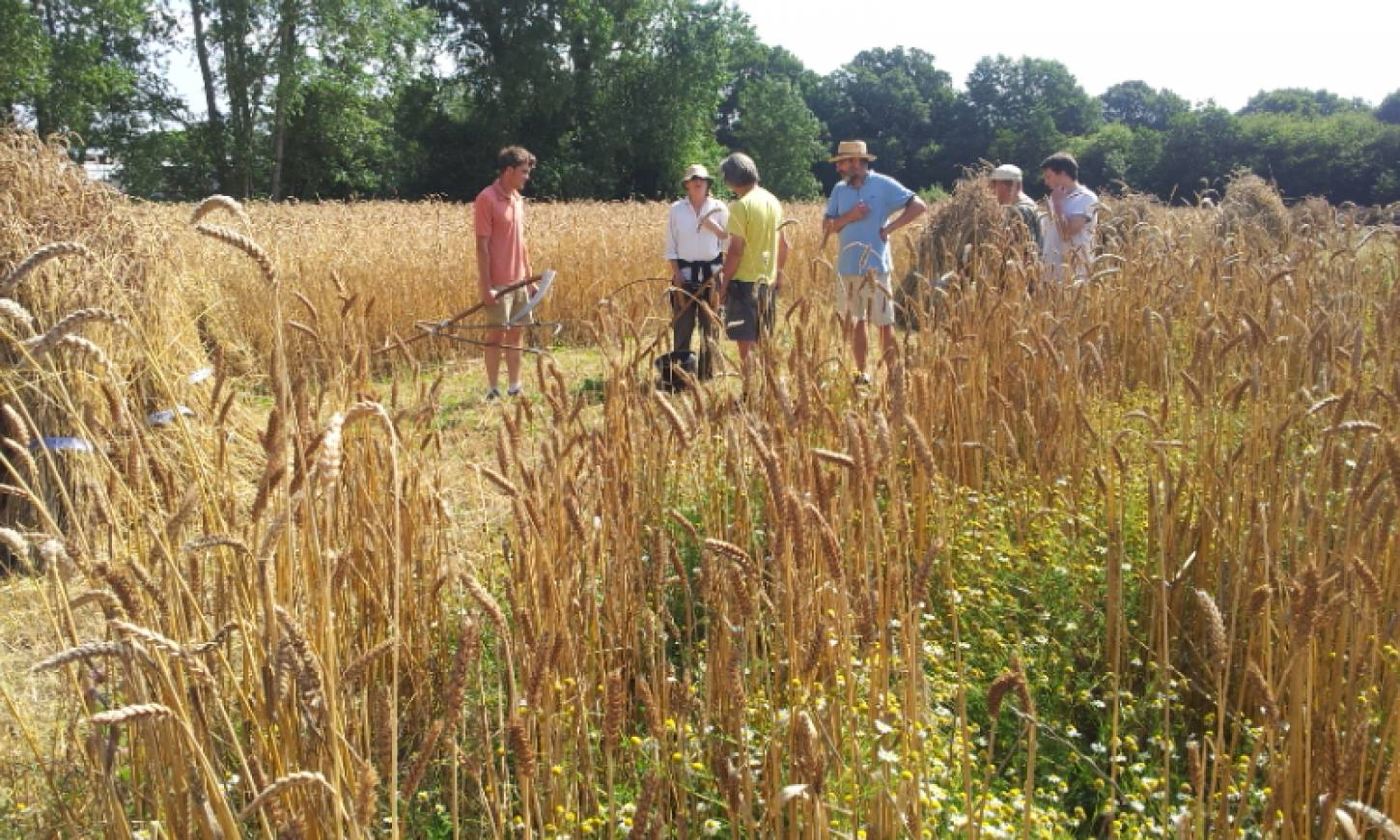 WoWo manual harvest pic: Ann Bodkin, scythers conference - 10:57am&nbsp;8<sup>th</sup>&nbsp;Aug.&nbsp;'15