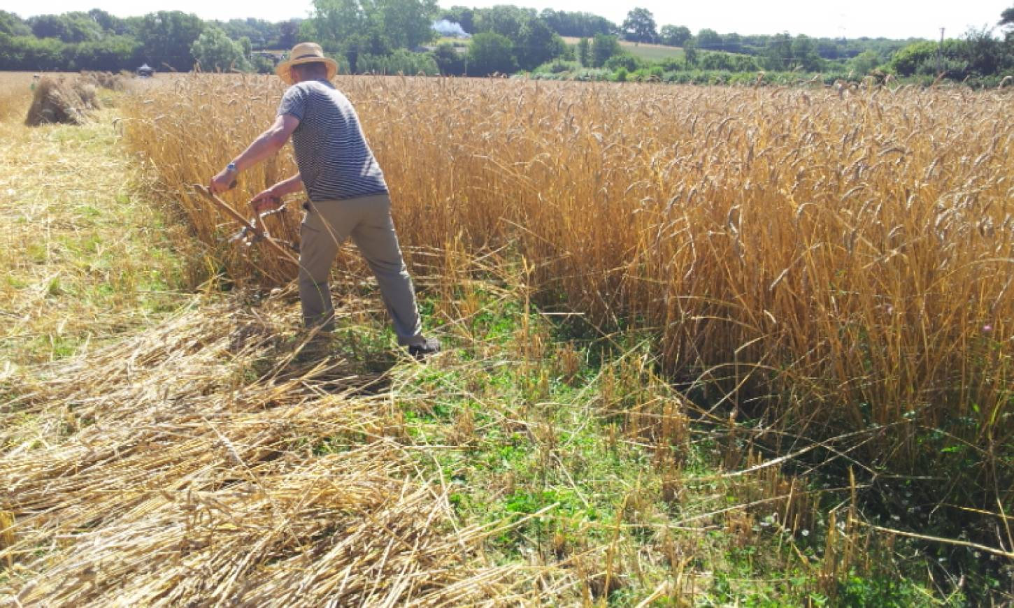 WoWo manual harvest pic: Ann Bodkin, Robert scything - 11:18am&nbsp;9<sup>th</sup>&nbsp;Aug.&nbsp;'15