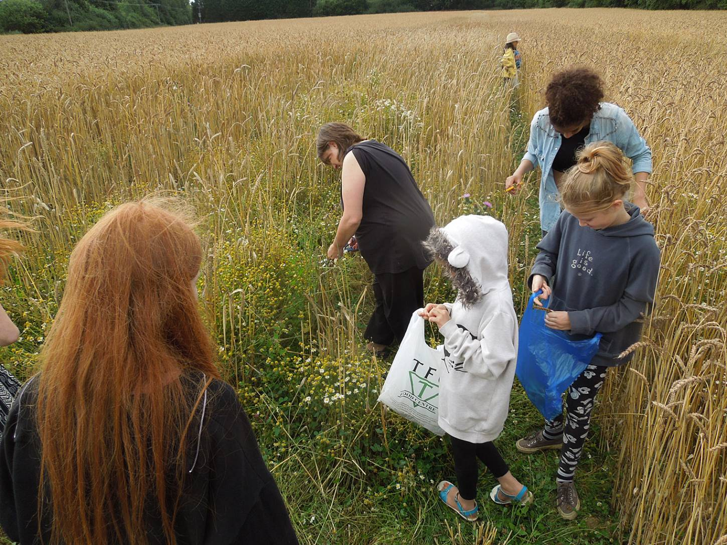 WoWo manual harvest - sorting - 4:07pm&nbsp;6<sup>th</sup>&nbsp;Aug.&nbsp;'15
