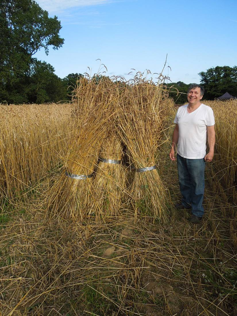 WoWo manual harvest - Xavier helping with stooking - 6:46pm&nbsp;6<sup>th</sup>&nbsp;Aug.&nbsp;'15